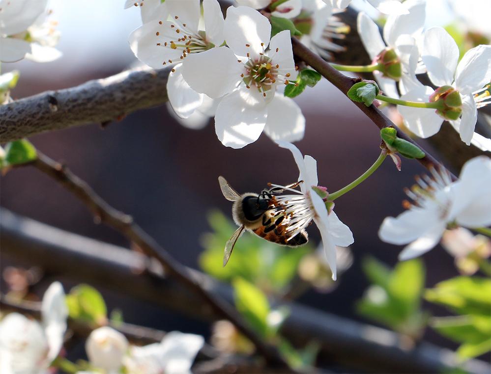 Obaveštenje za pčelare povodom prskanja voćnjaka u Boševu