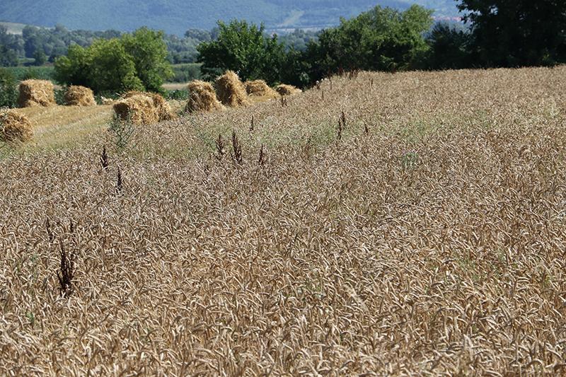 Poljoprivreda, polje, foto: M.M.