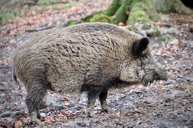 Divlja svinja, ilustracija, foto: Annette Meyer, preuzeto sa Pixabay