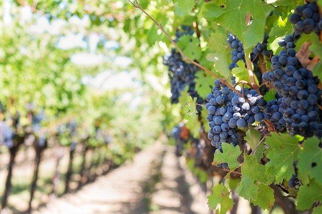 Ilustracija, vinograd, foto: Jill Wellington, pixabay