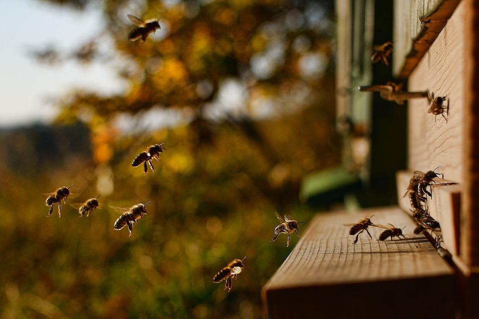Pčele, foto: Pixabay.com, foto: Martin Tajmr