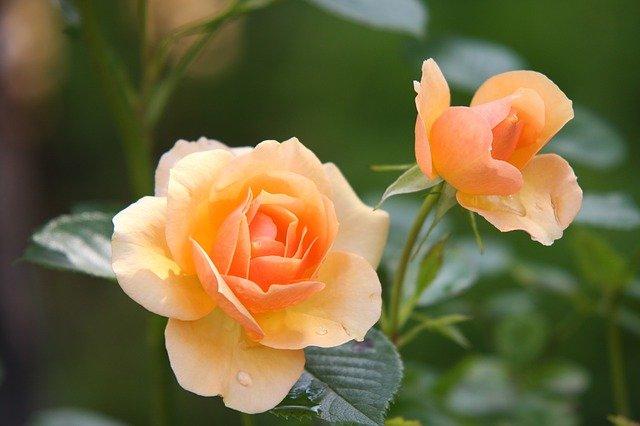 Ilustracija, ruže, foto: Pixabay, autor: Johann Reinbacher